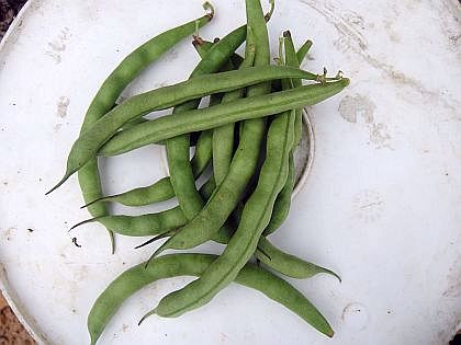 Myers Family Bean