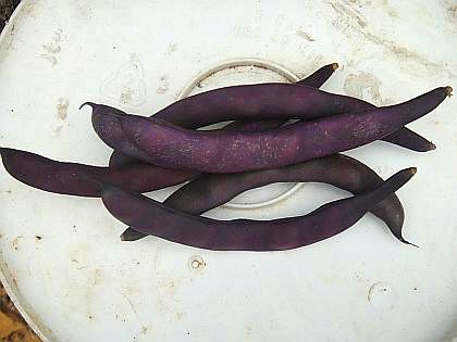 Purple Podded Pole